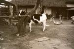 昭和20年代半ばから、栄養摂取・食生活改善指導等により清瀬でも酪農が盛んになりました。宅地化が進んだ現在も数件の農家で酪農が営まれています。