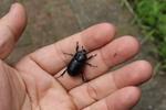 カブトムシの仲間ではあるが、この種類は動物の死骸をエサとしている。あまり見る機会のない昆虫。