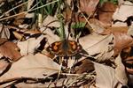 天狗のように、頭部が尖っていることから、その名ば付いた。成虫のまま越冬するので、早春からその姿を見ることができる。