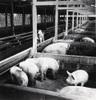 昭和35年(1960)に畜産振興条例が制定され、従来の耕種農業中心の経営から、より収益の高い畜産中心の経営に切り替えられました。それ以降、羽村町(当時)でも農業経営の安定を目指して、特に養豚が積極的に進められました。